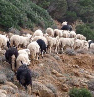 Sardynia owce